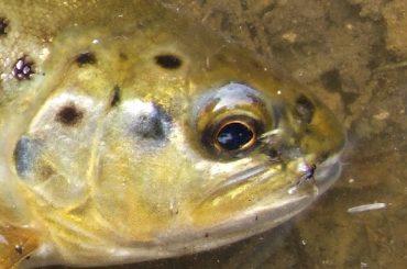 Conservazione della fauna ittica autoctona. Marche e Ragusa: due progetti a confronto