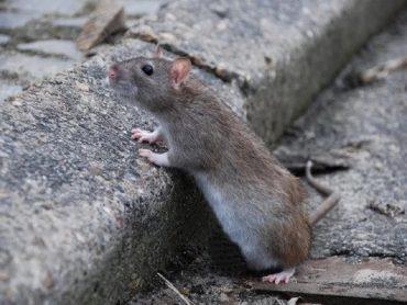 Invasione di topi a Scoglitti: lo denunciano il PD cittadino e Giuseppe Nicastro