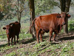 Le razze bovine autoctone, una ricchezza della terra siciliana, da difendere e da tutelare