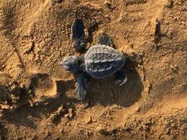 Lieto evento sulla spiaggia di Pezza Filippa, a Scicli: invasione di tartarughe Caretta Caretta appena nate