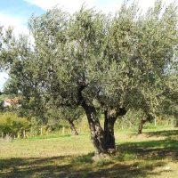 Piante di ulivo in concessione